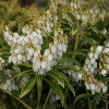 Picture of Pieris Purity