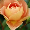 Picture of Pat Austin Std 80cm-Rose