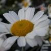 Picture of Leucanthemum Hosmariense
