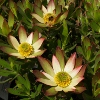 Picture of Leucadendron Harvest