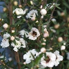 Picture of Leptospermum Wiri Linda