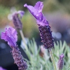 Picture of Lavender Major
