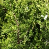 Picture of Juniperus Kaizuka