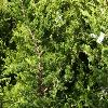 Picture of Juniperus Kaizuka