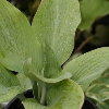 Picture of Hosta Krossa Regal