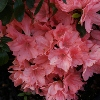 Picture of Azalea Blauuws Pink