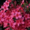 Picture of Azalea Hino Crimson