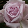 Picture of Bering-Rose