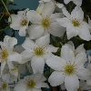 Picture of Clematis Sweet Hart