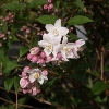 Picture of Deutzia Compact Pink