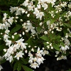 Picture of Deutzia Nikko