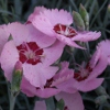 Picture of Dianthus Angel of Peace