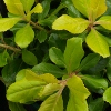 Picture of Escallonia Gold Brian