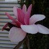 Picture of Magnolia Sweetheart