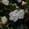 Picture of Azalea Gardenia Supreme