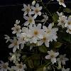 Picture of Clematis Paniculata