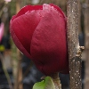 Picture of Magnolia Black Tulip