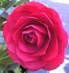 Picture of Camellia Les Jury Espalier