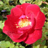 Picture of Redcoat-Rose