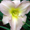 Picture of Hemerocallis Alvatine Taylor