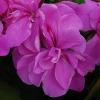 Picture of Geranium Dresdner Lilac