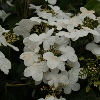 Picture of Viburnum Summer Snowflake