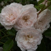 Picture of Seafoam Std 80cm-Rose