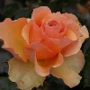Picture of Sunstruck-Rose