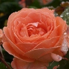 Picture of Amelia Std 80cm-Rose