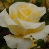 Picture of Elina Std 80cm-Rose