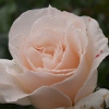 Picture of French Lace-Rose