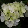 Picture of Hydrangea Snowball