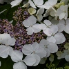 Picture of Hydrangea White Wave