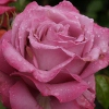 Picture of Royal Amethyst Std 80cm-Rose