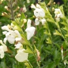 Picture of Salvia Greggii Snow White