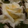 Picture of Scentasia Std 80cm-Rose