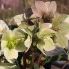 Picture of Helleborus Ivory Prince