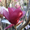 Picture of Magnolia Red As