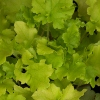 Picture of Heuchera Lime Marmalade
