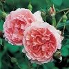 Picture of Strawberry Hill-Rose
