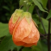 Picture of Abutilon Orange