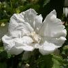 Picture of Hibiscus Dianna