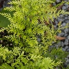 Picture of Asplenium Bulbiferum
