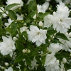 Picture of Philadelphus Frosty Morn