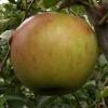 Picture of Apple Divine M9