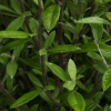 Picture of Corokia Geentys Green