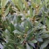 Picture of Laurus Nobilis