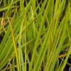 Picture of Libertia Grandiflora