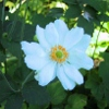 Picture of Anemone Japonica Single White