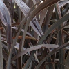 Picture of Phormium Platts Black